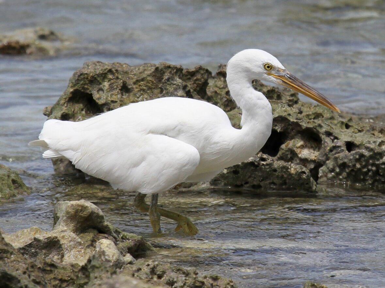 មកស្គាល់សត្វ «កុកសមុទ្រ Pacific Reef Egret»
